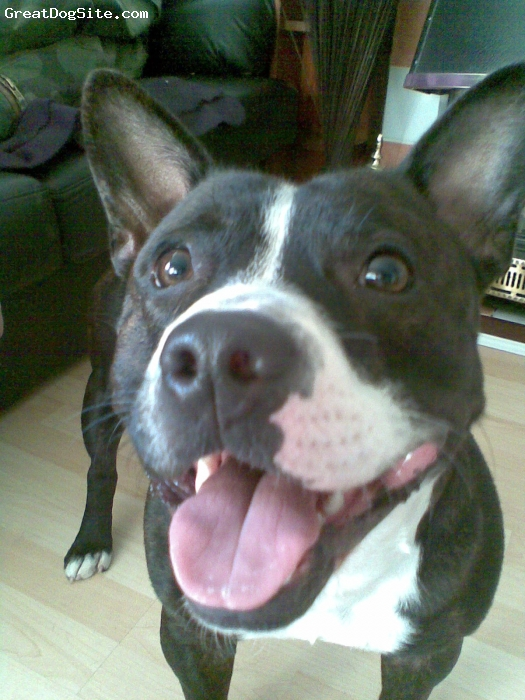 Staffordshire Bull Terrier, 2years, black /white, mad staffy