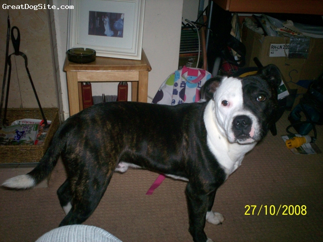 Staffordshire Bull Terrier, 1 YEAR OLD, BLACK & WHITE, CHOPPER IS A LOVEY DOG VERY GOOD WITH KIDS AND VERY VERY OBEDENT .