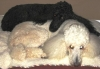 Standard Poodle, 5 and 9 years, white & black
