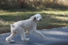 Standard Poodle, 1.5, white