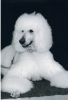 Standard Poodle, 5, withe