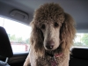 Standard Poodle, 15 months, apricot