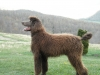 Standard Poodle, 8 months old, chocolate