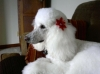 Standard Poodle, 3, white