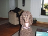 Standard Poodle, 1 1/2 years, chocolate