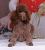 Standard Poodle, 4, Brown