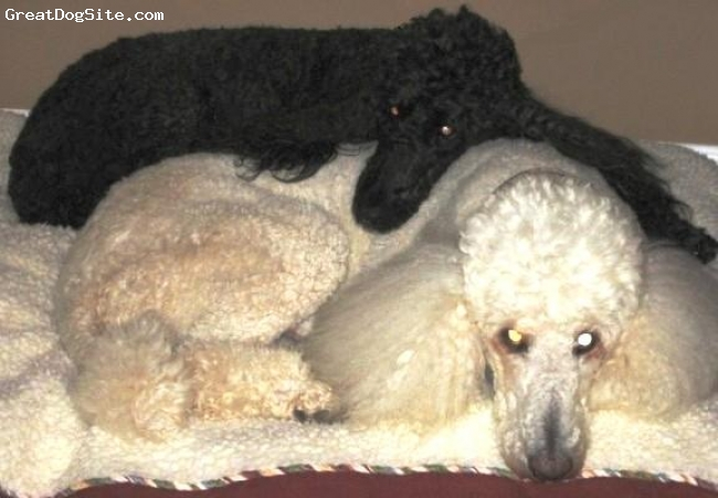 Standard Poodle, 5 and 9 years, white & black, Ziggy - white male, 5 years old, rescued from a puppy-mill breeder. Marley, black female, 9 years old, rescued from a kill-shelter.