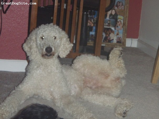 Standard Poodle, 1.5, white, sleeps with his leg in the air