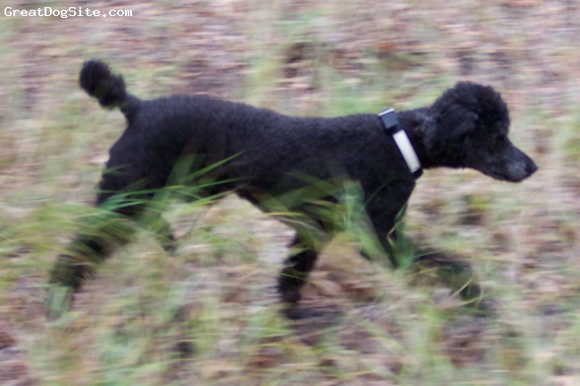 Standard Poodle, 6, black, hunting away!
