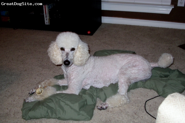 Standard Poodle, 5, White, Named after the Lone Ranger's horse, I love to prance and canter around the house and yard.  I'm the most handsome dog I know.