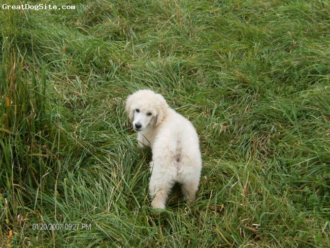 Standard Poodle, 12 wkswks, cream, hunting in the field