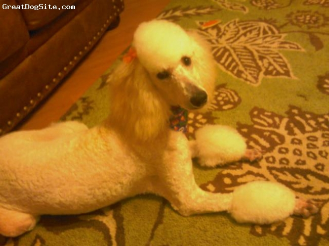 Standard Poodle, 10 months, white, lots of energy and loves to play
