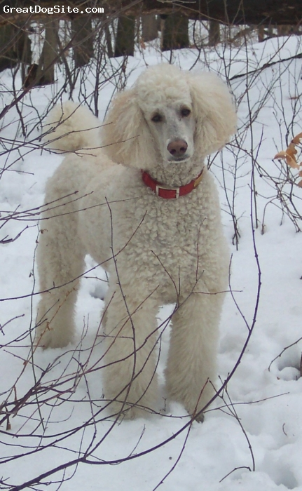 Standard Poodle, 6, cream, Feo was a rescue dog who proved to be one of our best dogs, and a great, smart and friendly animal he was.