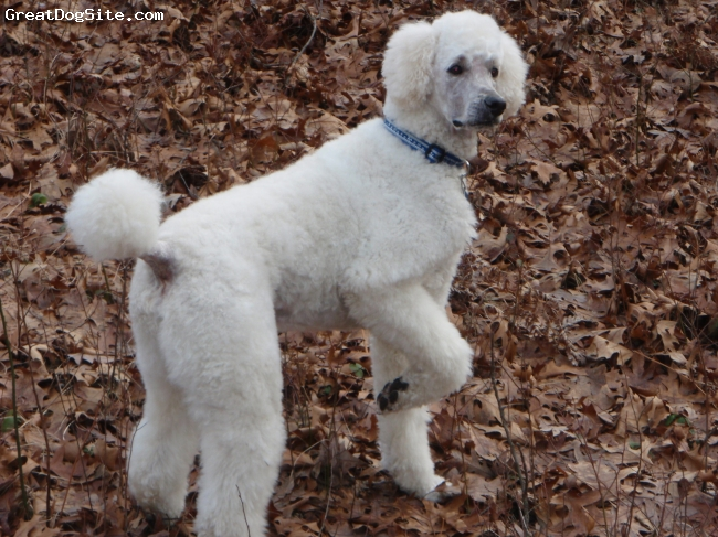 Standard Poodle, 4, cream, Cyrus is our most recent Standard.  He is a calm and collected dog, quite attached to me, very attentive to women and children (though he likes men as well), and a very good and eager retreiver.