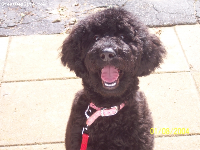 Standard Poodle, 12 mo, black, She isblack with a brown mustache, loves to play is 48lbs and is energetic wants to be everyones friend.