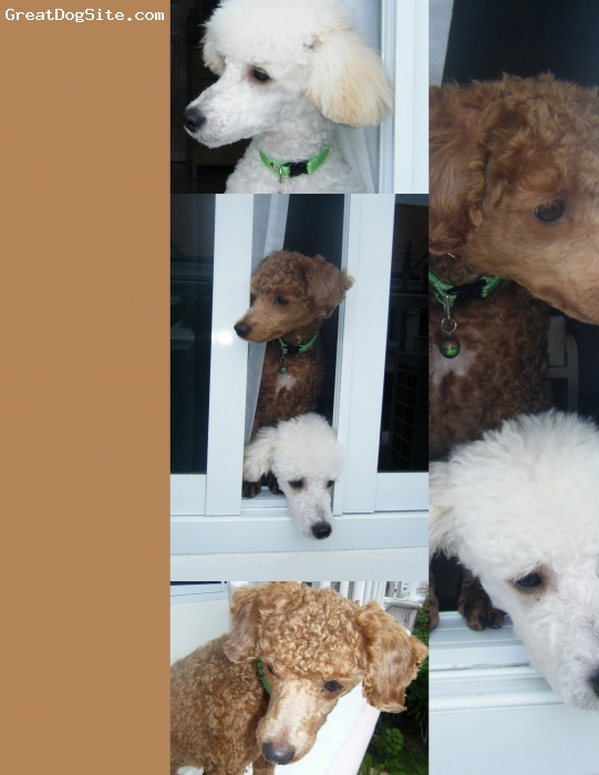 Standard Poodle, 1 year up, 1 pure brown and another pure white, Our loving Lucky and Marley.Lucky is named Lucky because of when we bought him he's w/ 5 other same color and size poodles.Marley is from a friend, at his very early age,stayed w/ us already. Both of them are sweet and loving and jealous w/ each other.Lucky follows me evrywhere i go, while marley follows too, but not going down the stairs.He will just stay there,until i go up.We are so happy to have them.Its not so easy, but we both love them.