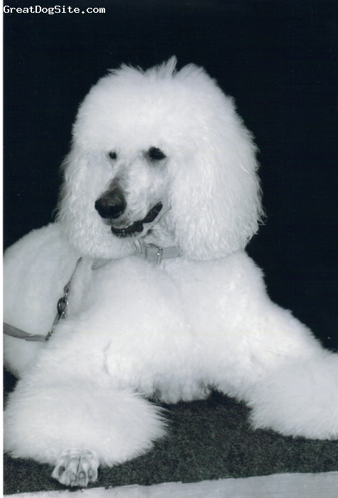 Standard Poodle, 5, withe, German Standardpoodle, 68 cm High ,27 Kilo weight, Owner :Dogshampoo Producer mr-pommeroys.com  Eat : cold pressed Dogfood and 1-2 times in week ,fresh meat oder turkey neck. Never .... Conditioner oder Power in his Hair. So Silikon or other chemicals.