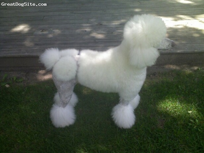 Standard Poodle, 3, white, I did it myself.