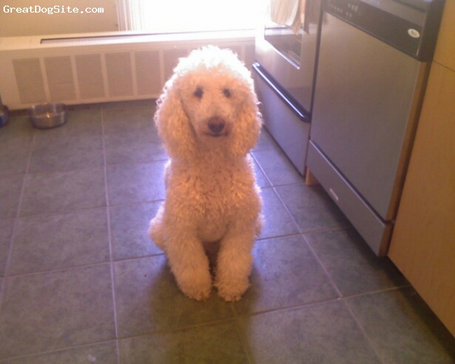 Standard Poodle, 3, white, waiting.