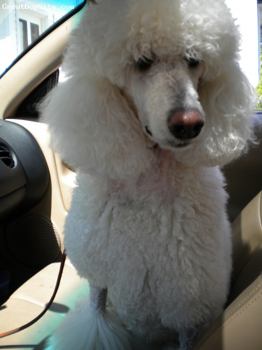 Standard Poodle, 3, White, car