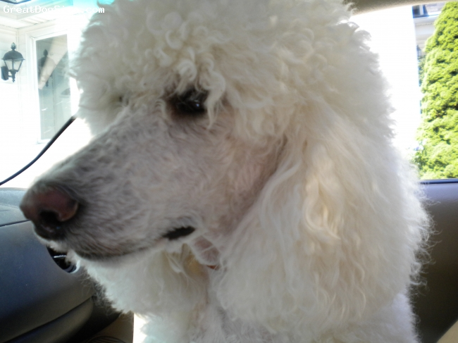 Standard Poodle, 3, White, close up