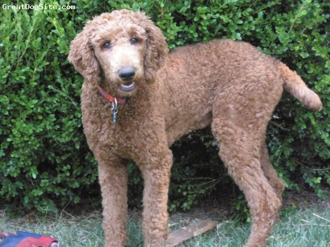 Standard Poodle, 6 months, Red, Truly our best friend!  Jake loves to play with a frisbie and chase balls.  He is our Fur Person, just one of the family.