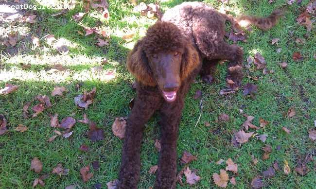 Standard Poodle, 1 year, Chololate, Our beautiful new friend.