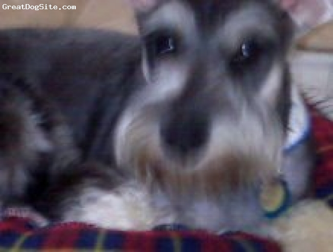 Standard Schnauzer, 7 months, salt and pepper, He's about 18 inches high and is a salt and pepper coleor very energetic. He is a very good watchdog and his tail is docked but is ears are natural.