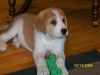 Swissneese, 8 weeks, Golden with White Markings