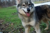 Tamaskan Dog, 1 year old, Wolf Gray/Tan
