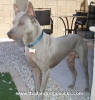 Thai Ridgeback, 2 years, blue