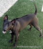 Thai Ridgeback, 1.5 years, Black
