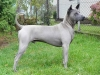 Thai Ridgeback, 11 month, blue