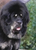 Tibetan Mastiff, 1,5 years, black&tan