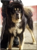 Tibetan Mastiff, 2 years, black and tan
