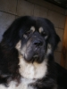 Tibetan Mastiff, 2,5 years, black and tan
