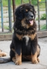 Tibetan Mastiff, 5 ,5 monts, black and tan