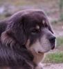 Tibetan Mastiff, 5 years, blue and tan