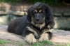 Tibetan Mastiff, puppy, black and tan