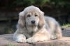 Tibetan Mastiff, puppy, gold