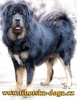 Tibetan Mastiff, 2, black and tan