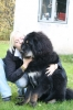 Tibetan Mastiff, 1 year old, black and tan