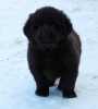 Tibetan Mastiff, 5 weeks, black
