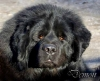 Tibetan Mastiff, 3 years, black