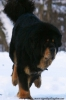 Tibetan Mastiff, 3, black and tan