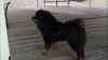 Tibetan Mastiff, 14 months, black w tan