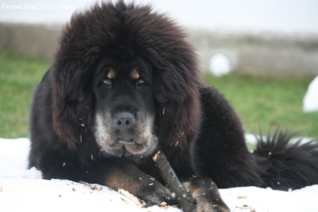 A photo of a 1 year old old, black and tan, Tibetan ...