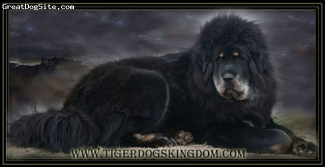 Tibetan Mastiff, 3, black and tan, Taiwan's big line, a massive tibetan mastiff. Lion type. Long hair, black and tan. Kennel Tigerdog's Kingdom.