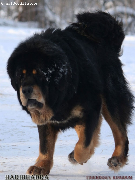 Tibetan Mastiff, 3, black and tan, Tiger type. China / Taiwan route tibetan mastiff. A large, massive Tibetan mastiff. Kennel Tigerdog's Kingdom.