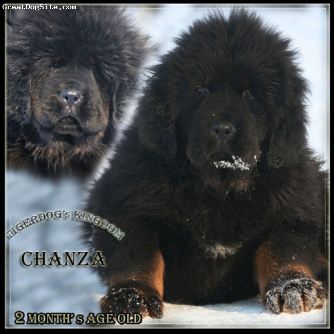 Tibetan Mastiff, 2 months age old, black and tan, Tibetan mastiff puppy.Pedigree China/Taiwan.